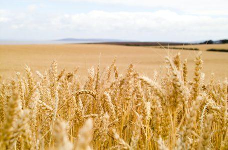 تواجه روسيا اضطراب تجارة القمح الناجم عن ضريبة الصادرات المعقدة.